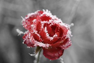 320px-Frosted_rose_01